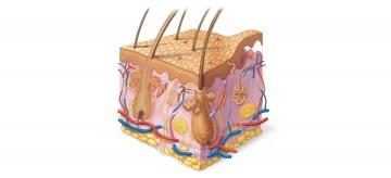 人体构造固)�_人体的皮肤构造示意图
